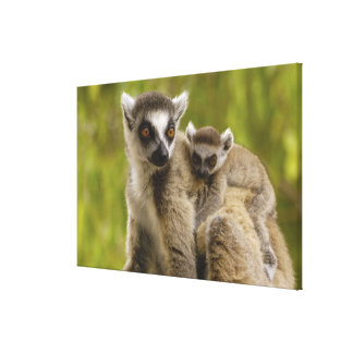 Ring-tailed lemurs (Lemur catta) Mother & baby. Canvas Prints