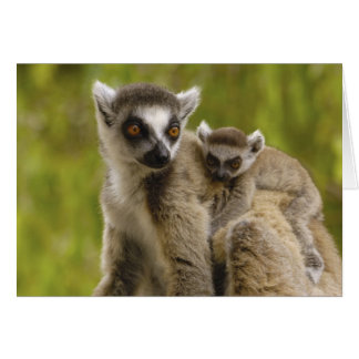 Ring-tailed lemurs (Lemur catta) Mother & baby. Greeting Card