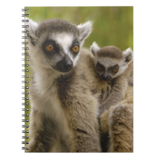 Ring-tailed lemurs (Lemur catta) Mother & baby. Note Book
