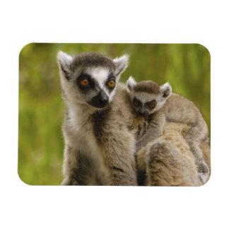 Ring-tailed lemurs (Lemur catta) Mother & baby. Rectangular Photo Magnet