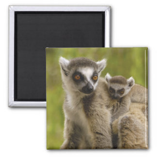 Ring-tailed lemurs (Lemur catta) Mother & baby. Square Magnet