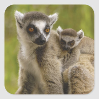 Ring-tailed lemurs (Lemur catta) Mother & baby. Square Sticker