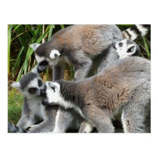 Ring Tailed Lemurs Postcard