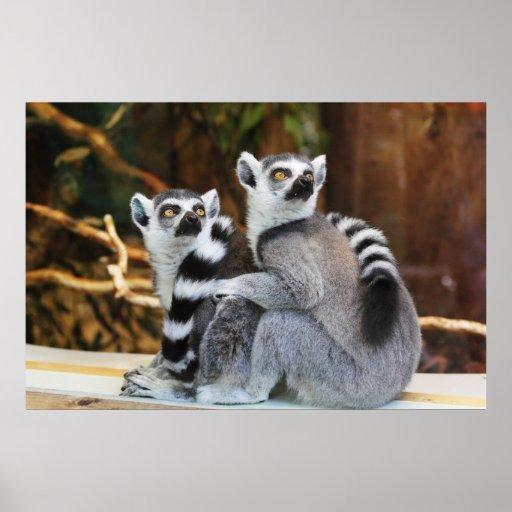 Ring-Tailed Lemurs Poster
