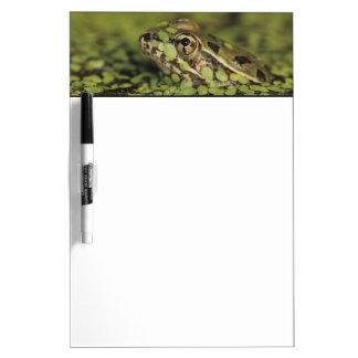 Rio Grande Leopard Frog, Rana berlandieri, Dry Erase Board