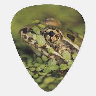 Rio Grande Leopard Frog, Rana berlandieri, Guitar Pick