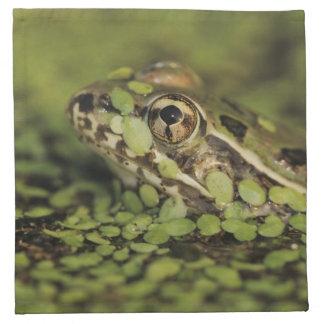 Rio Grande Leopard Frog, Rana berlandieri, Napkin