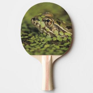 Rio Grande Leopard Frog, Rana berlandieri, Ping Pong Paddle