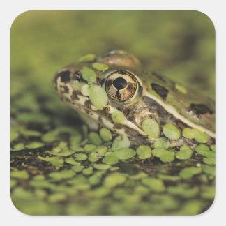 Rio Grande Leopard Frog, Rana berlandieri, Square Sticker
