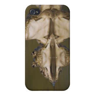 Rio Grande Leopard Frog, Rana berlandieri, two iPhone 4 Cover