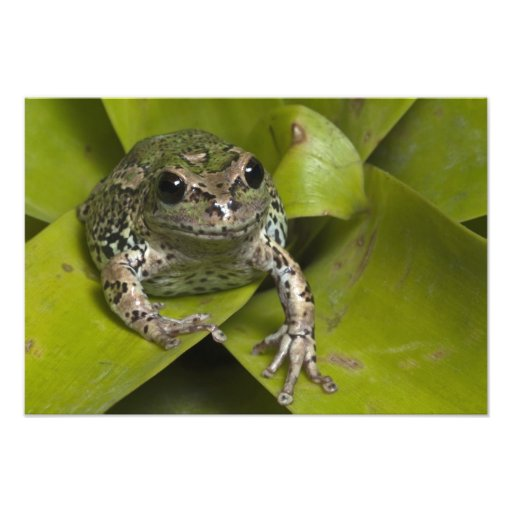 Riobamba Marsupial Frog Gastrotheca Art Photo