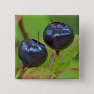 Ripe huckleberries in the Flathead National 2 15 Cm Square Badge