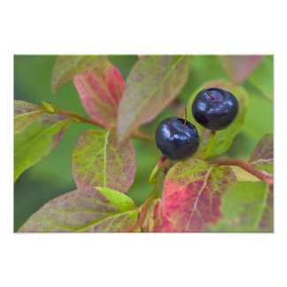 Ripe huckleberries in the Flathead National Photographic Print