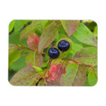 Ripe huckleberries in the Flathead National Rectangle Magnets
