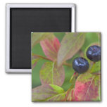 Ripe huckleberries in the Flathead National Square Magnet