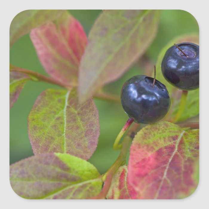Ripe huckleberries in the Flathead National Square Sticker