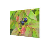 Ripe huckleberries in the Flathead National Stretched Canvas Prints