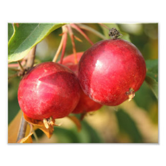 Ripe Red Crabapples Photo Print