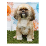 Ripley - Shih Tzu Post Card