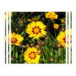 Rising Sun Coreopsis Postcard