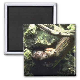 River Otter peering out of rocky den Square Magnet