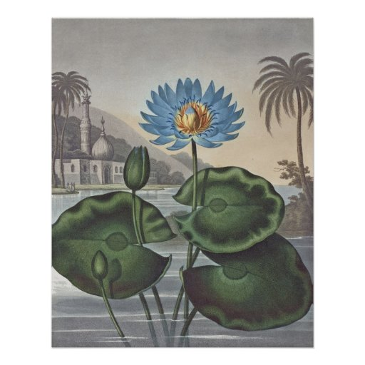 RJ Thornton - The Blue Egyptian Water-Lily Poster