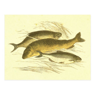 Roach, Carp & Bream Vinatge Fish Lithograph Postcard