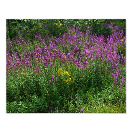 Roadside Wildflowers - Purple Loosestrife with som Photograph