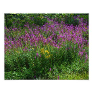 Roadside Wildflowers - Purple Loosestrife with som Photographic Print