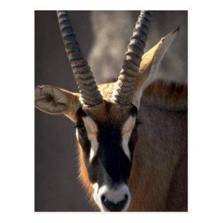 Roan Antelope Head Postcard