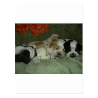 Roan Cocker spaniel  puppies. Nap Time! Postcard