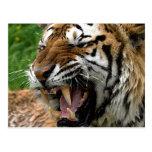 Roaring Tiger Post Card