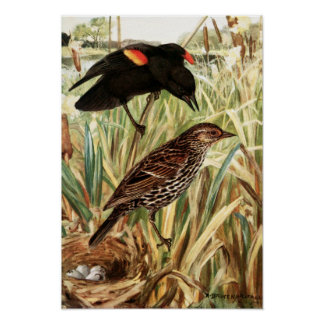Robert Bruce Horsfall - Red-Winged Blackbird Poster