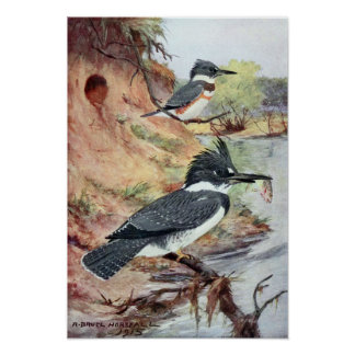 Robert Bruce Horsfall - Vintage Belted Kingfisher Poster