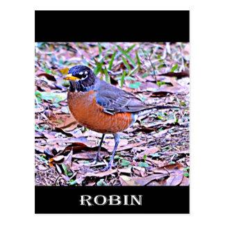 Robin (American Robin) Post Cards