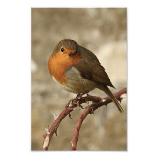 Robin On Thorny Stem Photo Print