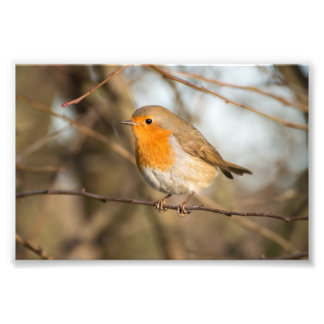 Robin Photo Print