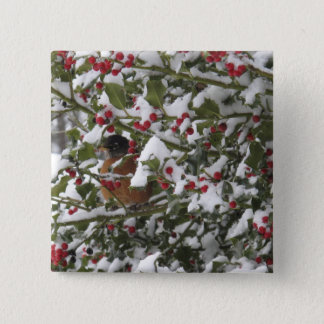 robin sheltering in a holly tree after a snow 15 cm square badge