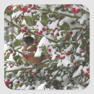 robin sheltering in a holly tree after a snow square sticker