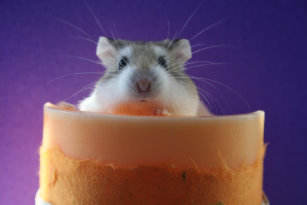 Roborovski Hamster Gifts & Gift Ideas | Zazzle UK