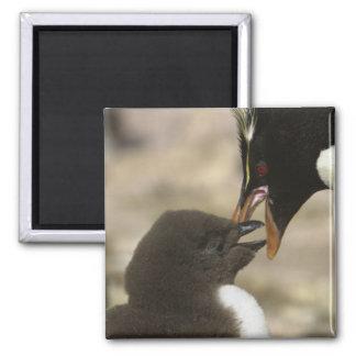 Rock-hopper Penguin, Eudyptes chrysocome, Magnet