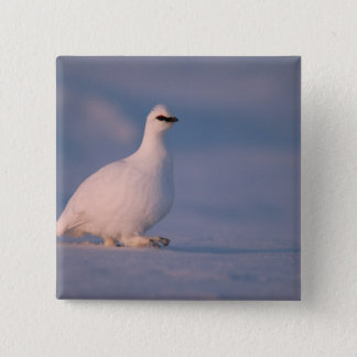 rock ptarmigan, Lagopus mutus, walking in the 15 Cm Square Badge