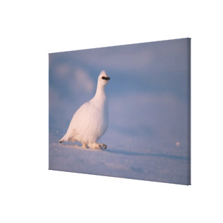 rock ptarmigan, Lagopus mutus, walking in the Canvas Print