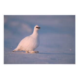 rock ptarmigan, Lagopus mutus, walking in the Photo