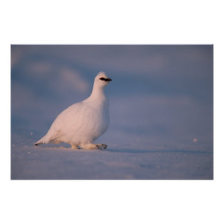 rock ptarmigan, Lagopus mutus, walking in the Poster