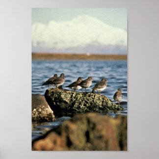 Rock Sandpiper Flock Poster