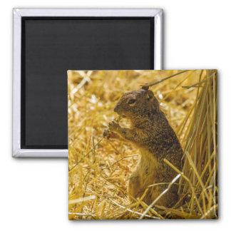 Rock Squirrel Eating Magnet