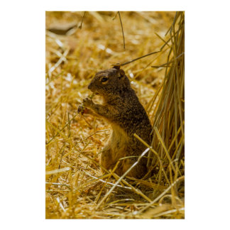 Rock Squirrel Eating Poster