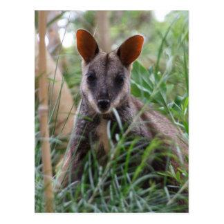 Rock Wallaby postcards