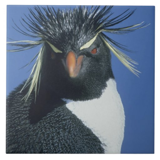 Rockhopper Penguin (Eudyptes chrysocome) Tile